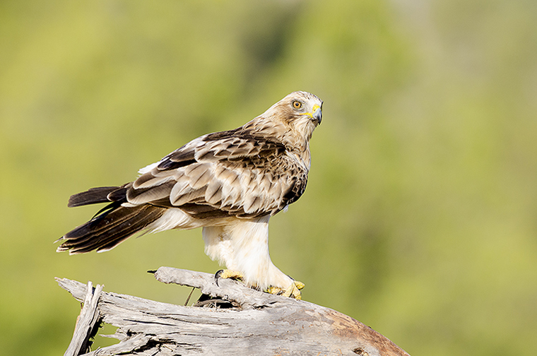 hide_pl_booted_eagle_aguila_calzada_aguila_calcada_02