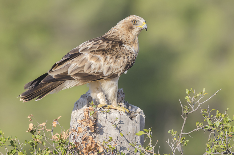 hide_pl_booted_eagle_aguila_calzada_aguila_calcada_05