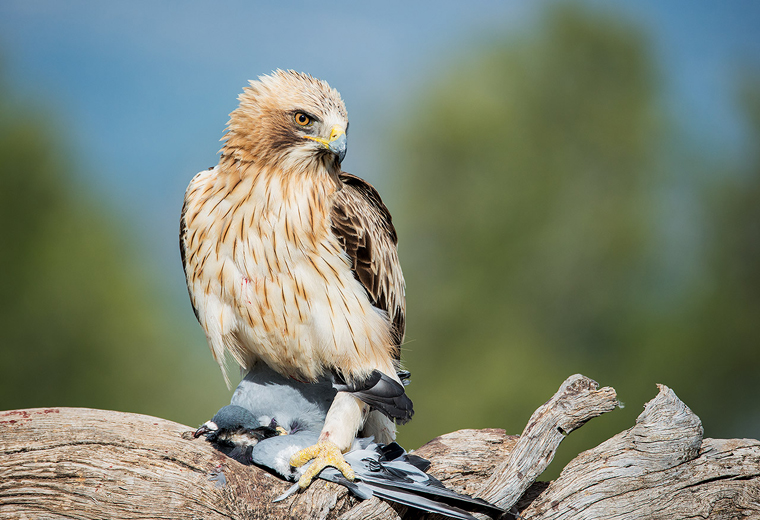hide_pl_booted_eagle_aguila_calzada_aguila_calcada_08