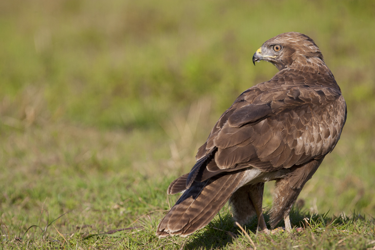 hide_pl_common_buzzard_busardo_ratonero_aligot_08