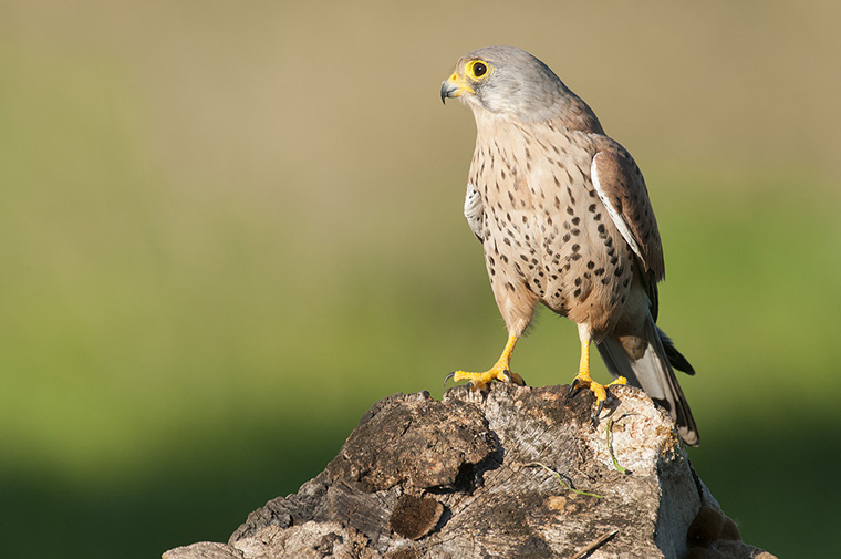 hide_pl_common_kestrel_cernicalo_xoriguer_04