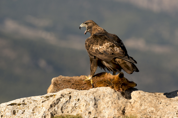 hide_pl_golden_eagle_aguila_real_aguila_daurada_02