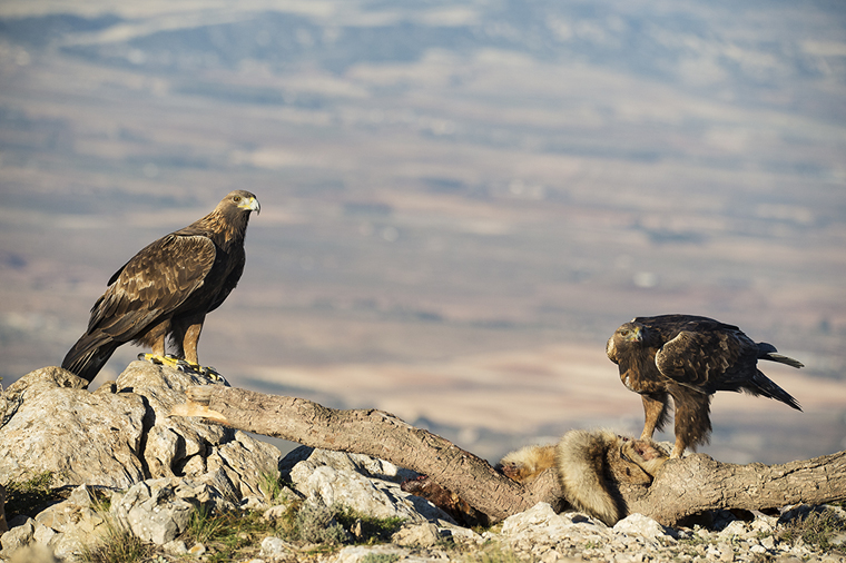 hide_pl_golden_eagle_aguila_real_aguila_daurada_07