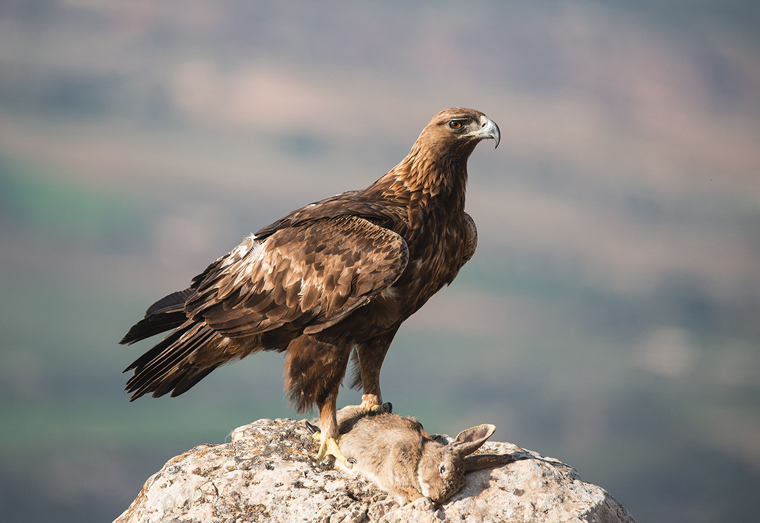 hide_pl_golden_eagle_aguila_real_aguila_daurada_08