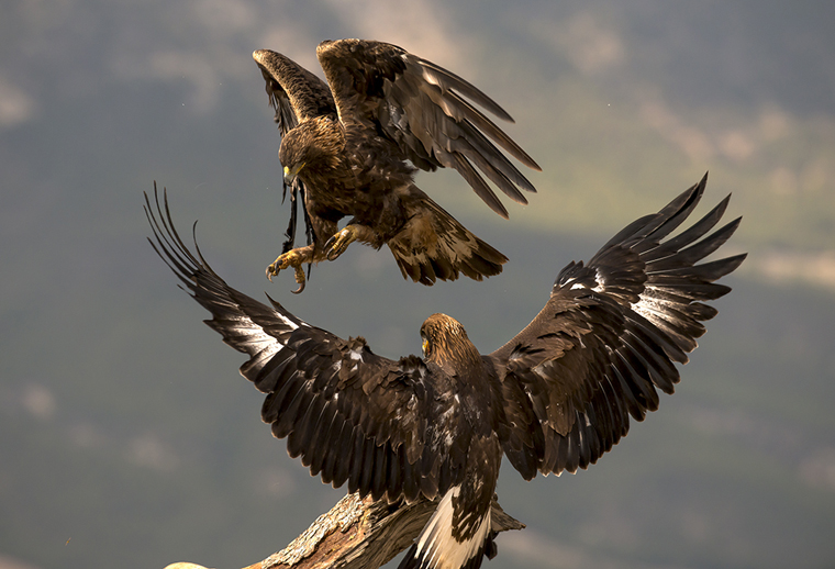 hide_pl_golden_eagle_aguila_real_aguila_daurada_12