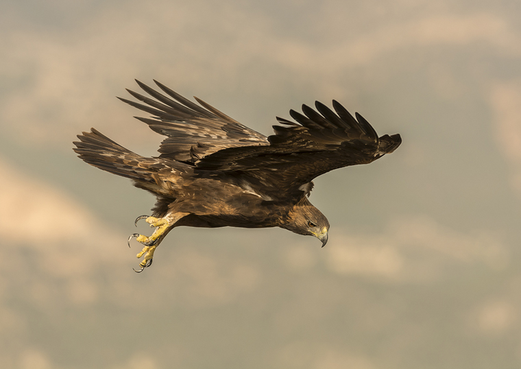 hide_pl_golden_eagle_aguila_real_aguila_daurada_15