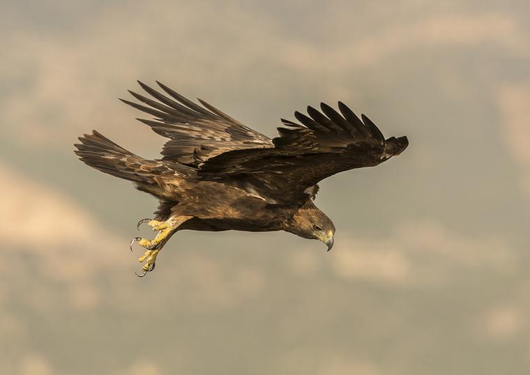 hide_pl_golden_eagle_aguila_real_aguila_daurada_15