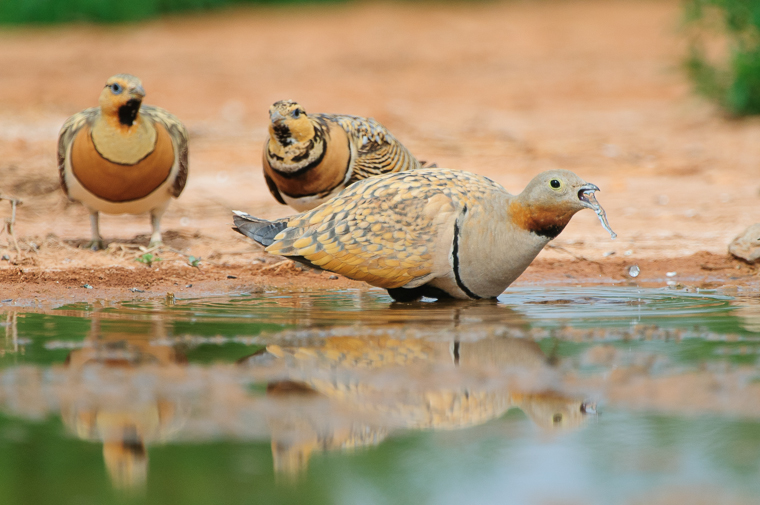 pl_hide_black-bellied_sandgrouse_ganga_ortega_11