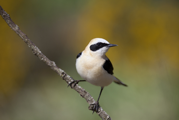 pl_hide_black-eared_wheatear_collalba_rubia_colit_ros_02