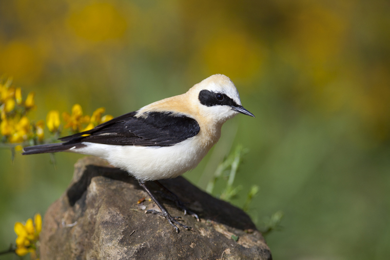 pl_hide_black-eared_wheatear_collalba_rubia_colit_ros_03