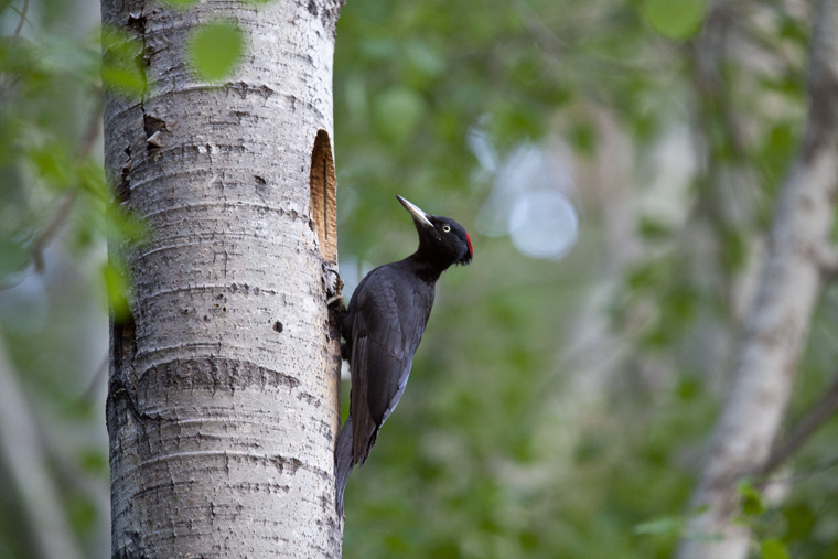 pl_hide_black_woodpecker_pito_negro_picot_negre_03