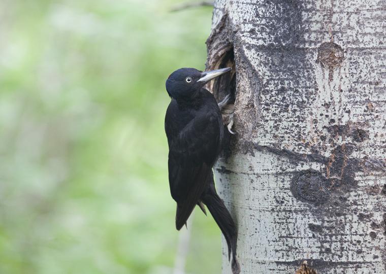 pl_hide_black_woodpecker_pito_negro_picot_negre_04