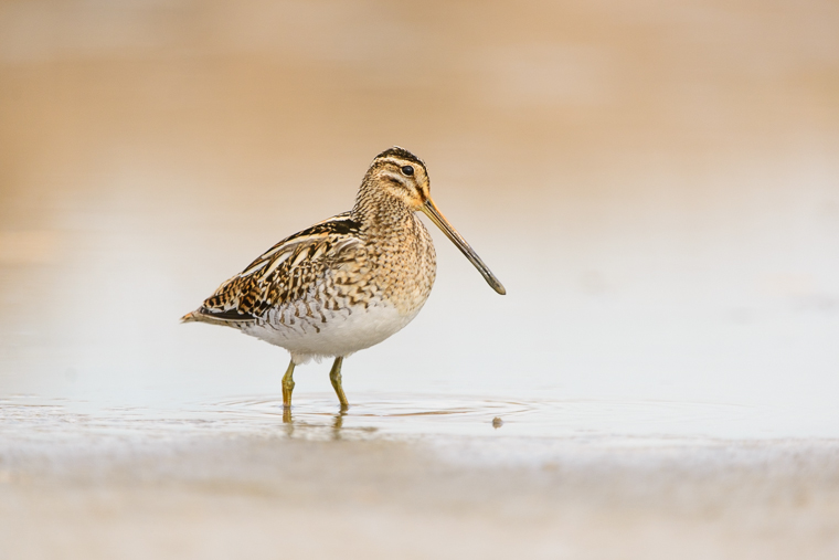 pl_hide_common_snipe_agachadiza_comun_becadell_comu_01