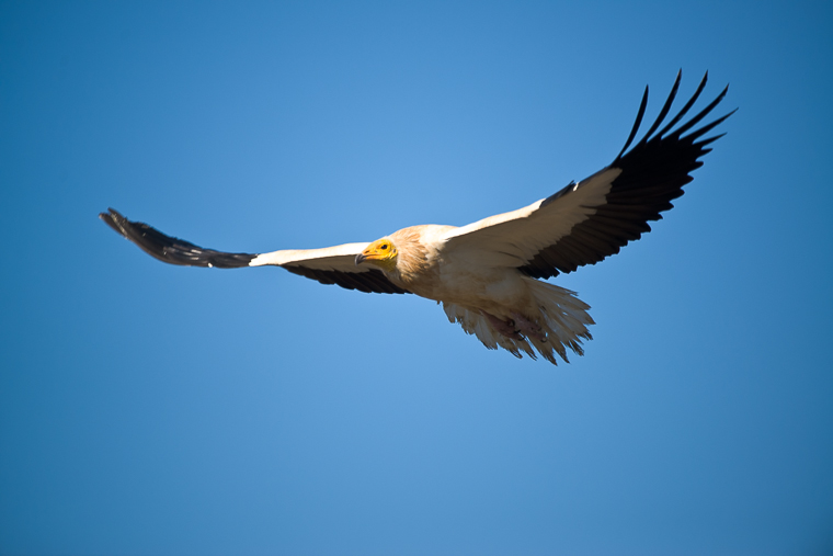 Egyptian Vulture. Vulture hides.