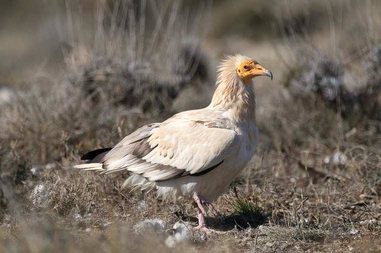 pl_hide_egyptian_vulture_alimoche_aufrany_13