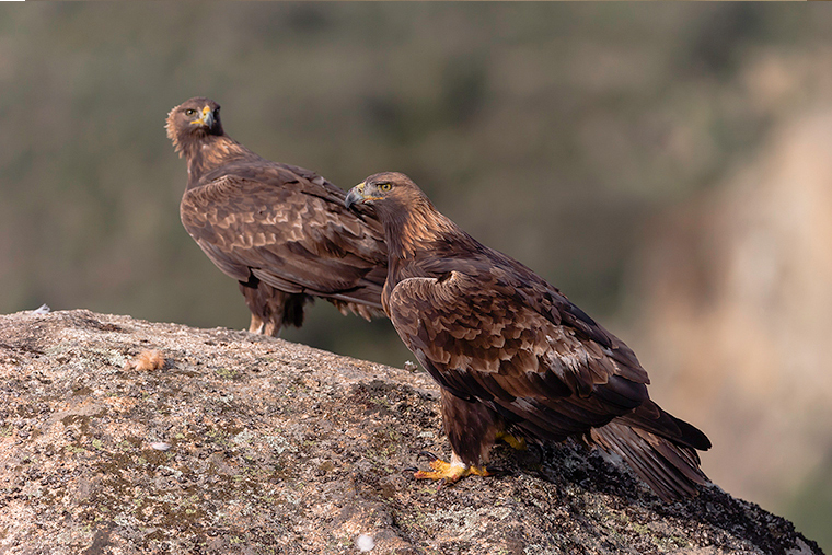 pl_hide_golden_eagle_aguila_real_daurada_03