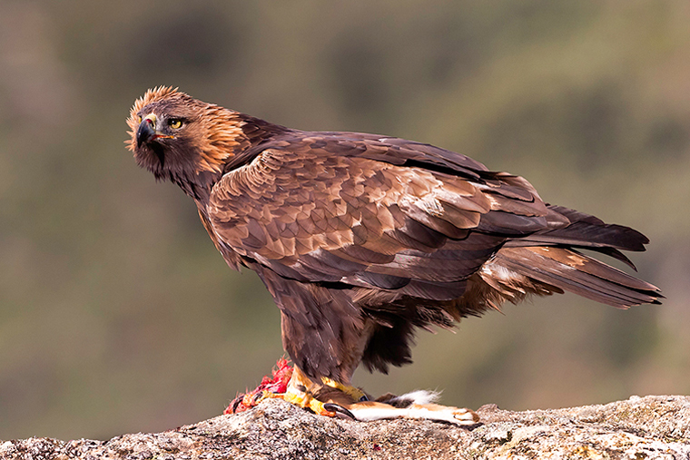pl_hide_golden_eagle_aguila_real_daurada_13