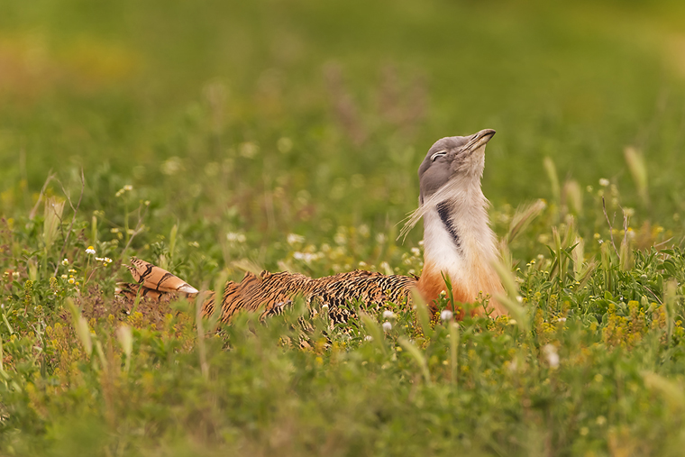pl_hide_great_bustard_avutarda_pioc_salvatge_02