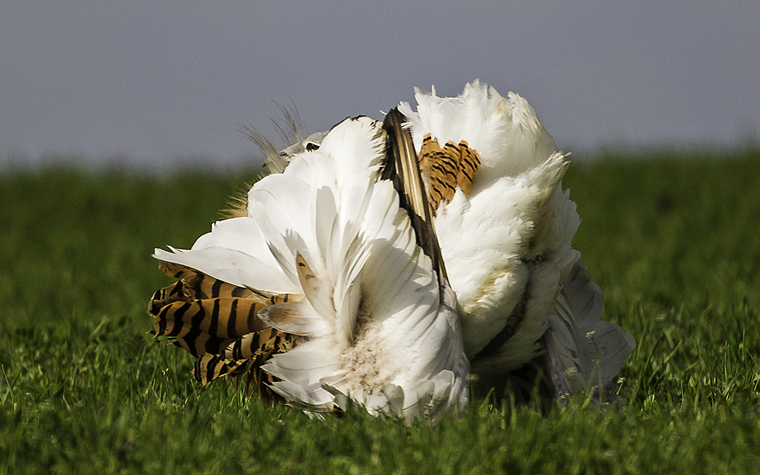 pl_hide_great_bustard_avutarda_pioc_salvatge_03