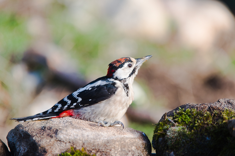 pl_hide_great_soptted_woodpecker_pico_picapino_pigot_garser_gros_13