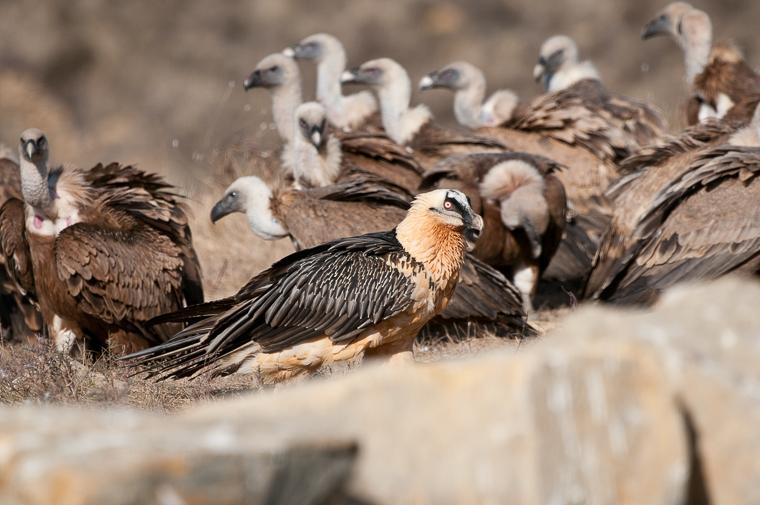 pl_hide_lammergeier_quebrantahuesos_trencalos_03_vulture