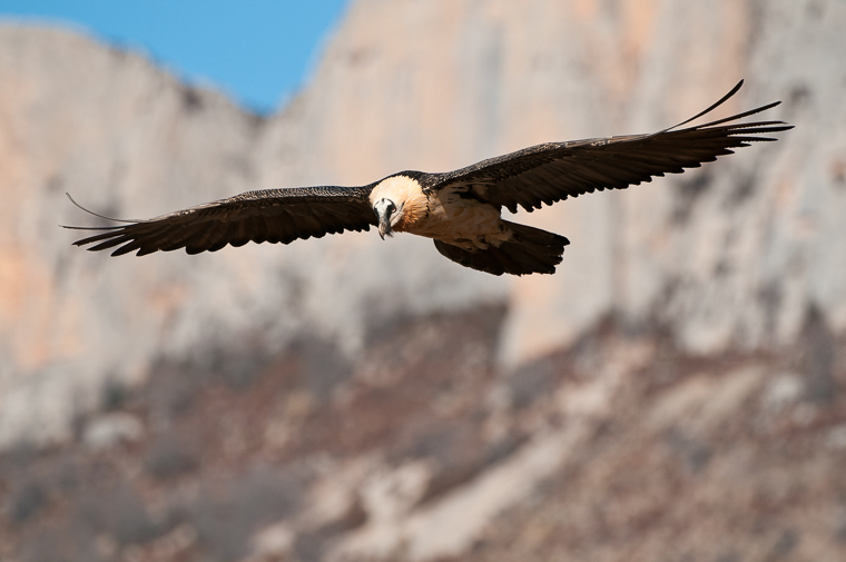 pl_hide_lammergeier_quebrantahuesos_trencalos_09_vulture