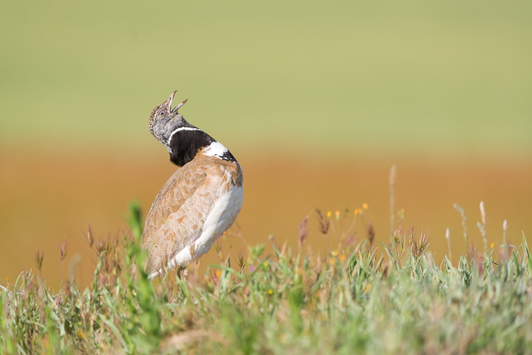pl_hide_little_bustard_sison_siso_13
