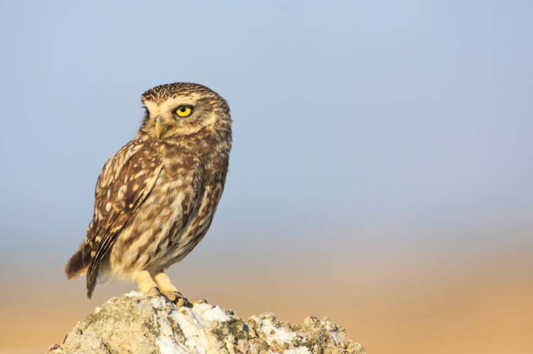 pl_hide_little_owl_mochuelo_mussol_01