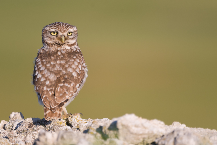 pl_hide_little_owl_mochuelo_mussol_05
