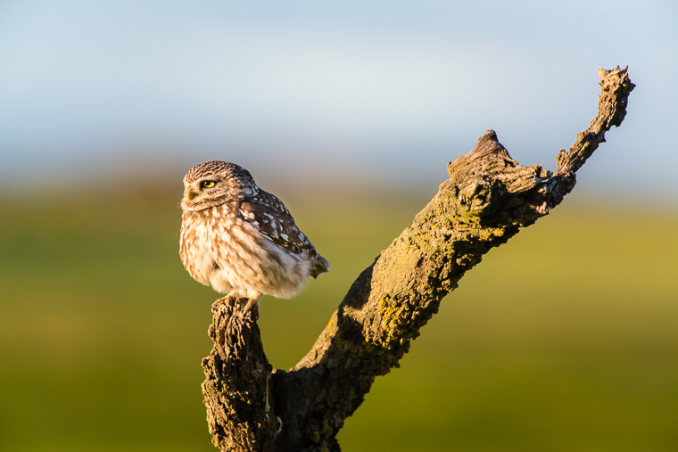 pl_hide_little_owl_mochuelo_mussol_06