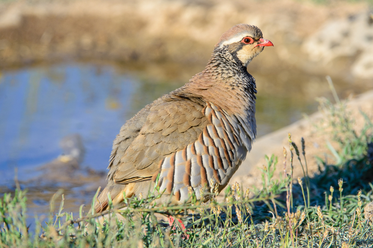 pl_hide_red-legged_partridge_perdiz_perdiu_roja_02