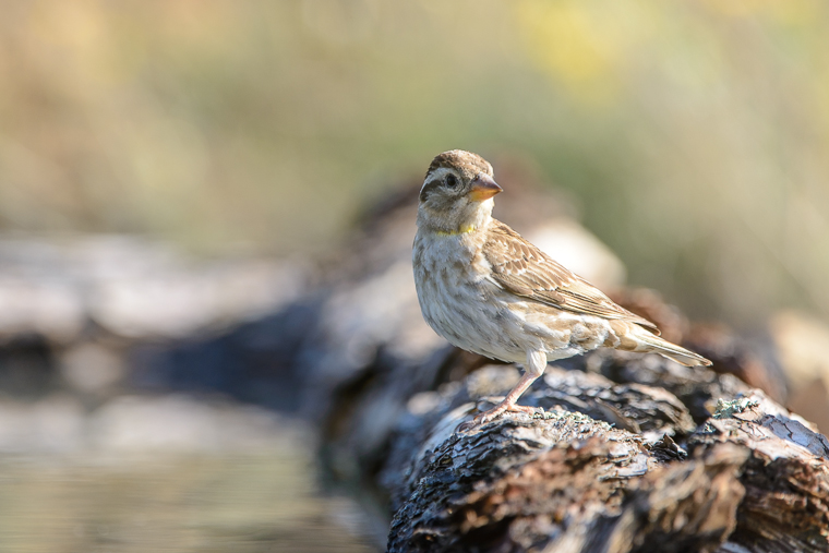 pl_hide_rock_sparrow_gorrion_chillon_pardal_roquer_09