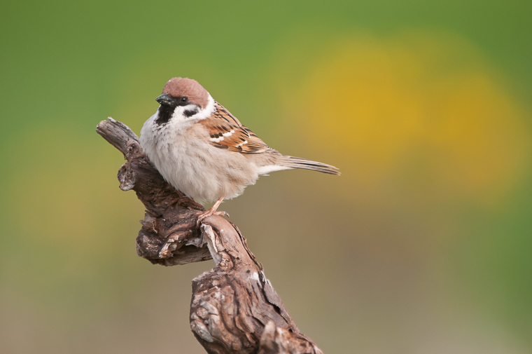 pl_hide_tree_sparrow_gorrion_molinero_pardal_xarrec_05