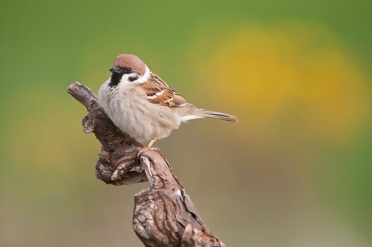 pl_hide_tree_sparrow_gorrion_molinero_pardal_xarrec_05