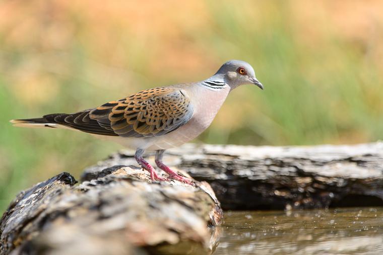 pl_hide_turtle_dove_tortola_tortora_vulgar_05