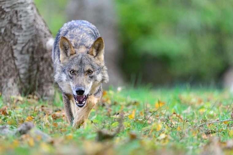pl_service_wolf_lobo_llop_05