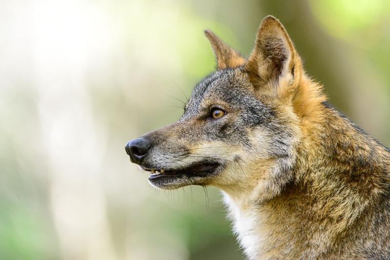 pl_service_wolf_lobo_llop_06