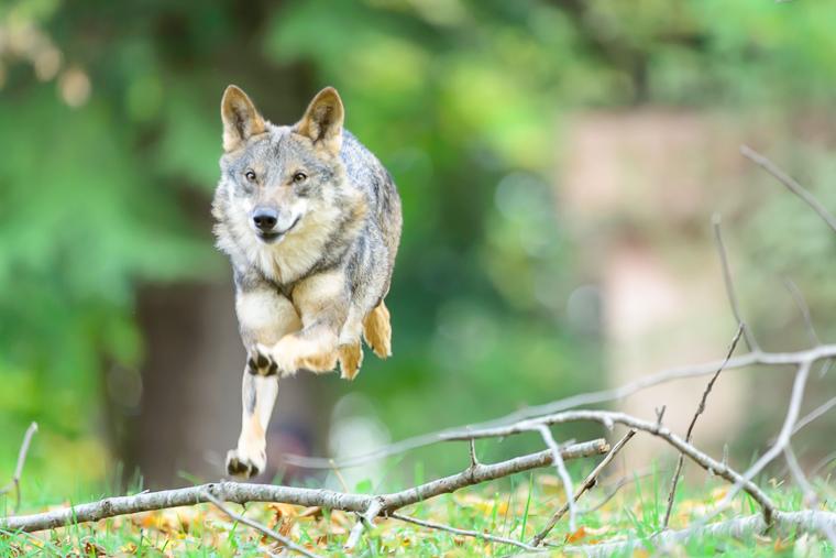 pl_service_wolf_lobo_llop_10