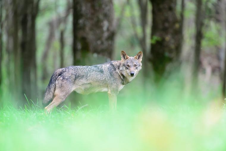 pl_service_wolf_lobo_llop_15