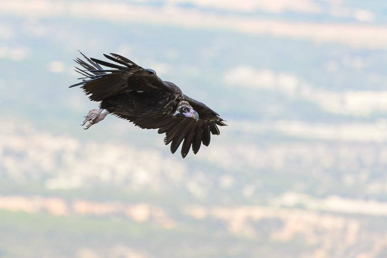 pl_vulture_itinerary_bitre_guiaje_guiatge_voltors_07