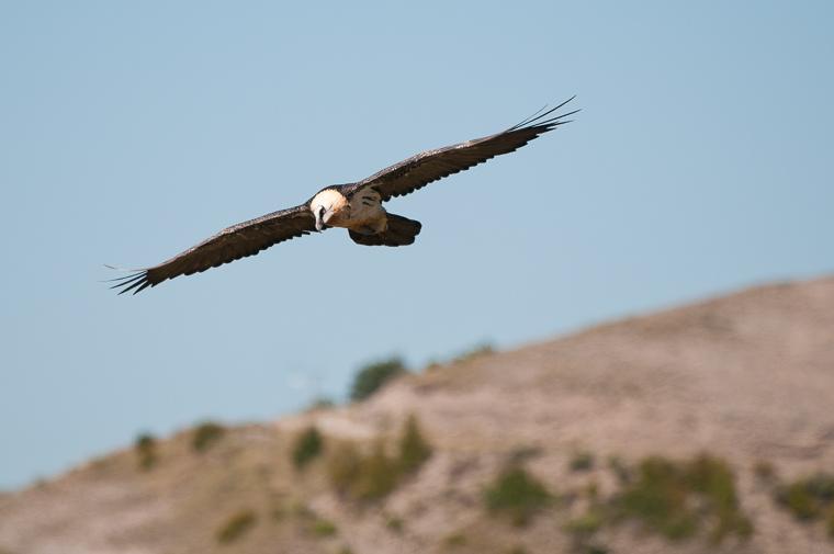 pl_vulture_itinerary_bitre_guiaje_guiatge_voltors_09