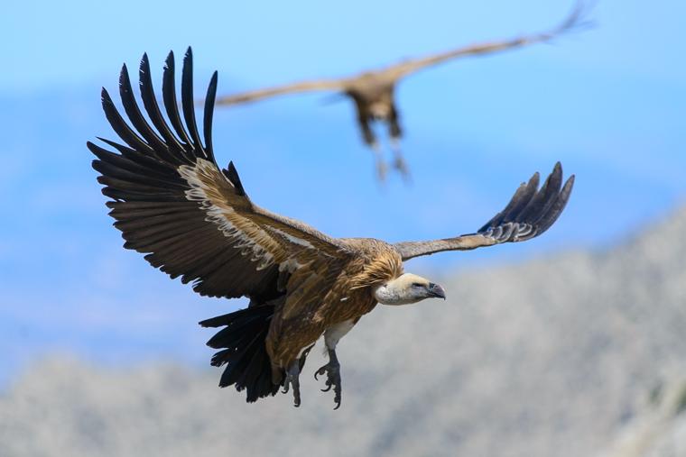 pl_vulture_itinerary_bitre_guiaje_guiatge_voltors_11