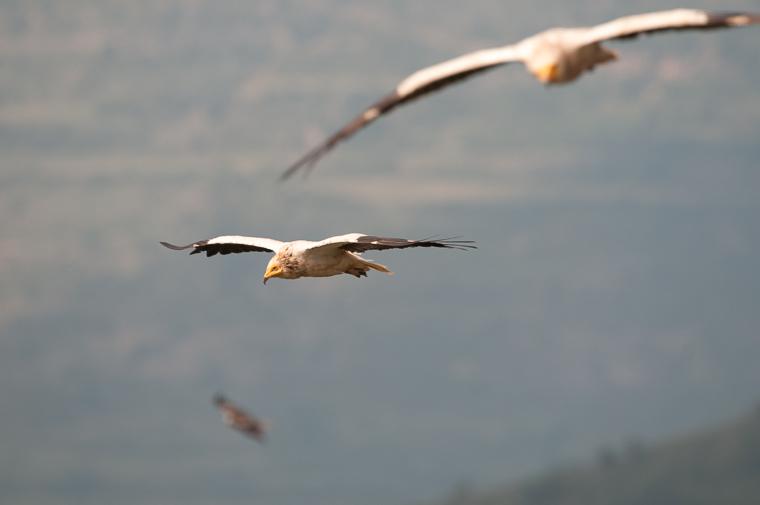 pl_vulture_itinerary_bitre_guiaje_guiatge_voltors_13