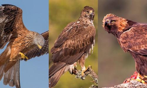 Raptors photography trip in Spain