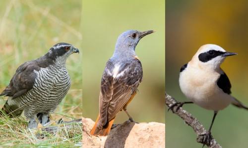 Combinado aves mediterráneas