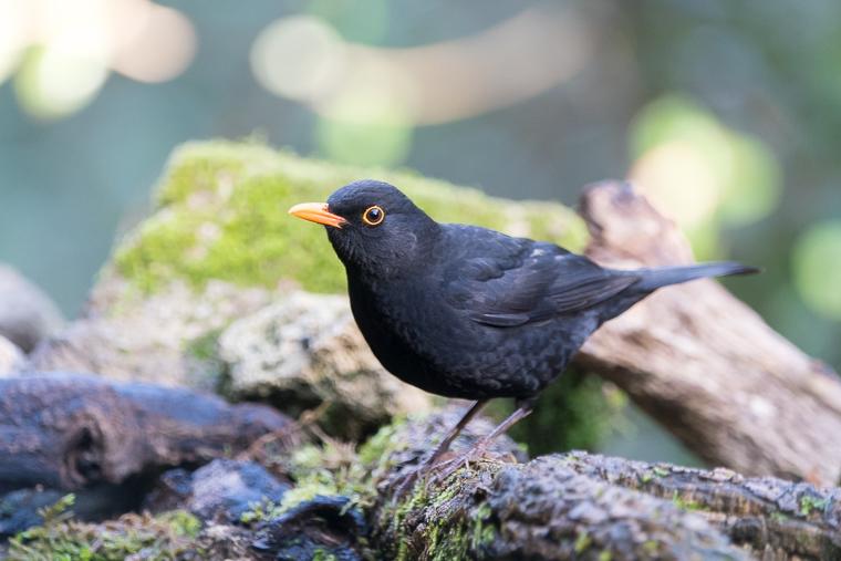 pl_hide_black_bird_merla_mirlo_04