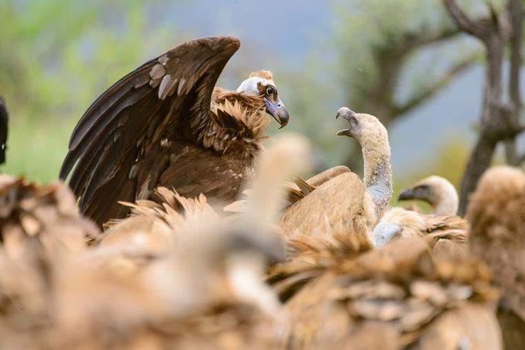 pl_hide_black_vulture_voltor_negre_buitre_negro_01