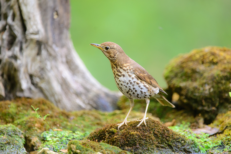 pl_hide_song_thrush_tord_zorzal _33