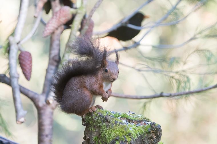 pl_hide_squirrel_ardilla_esquirol_03