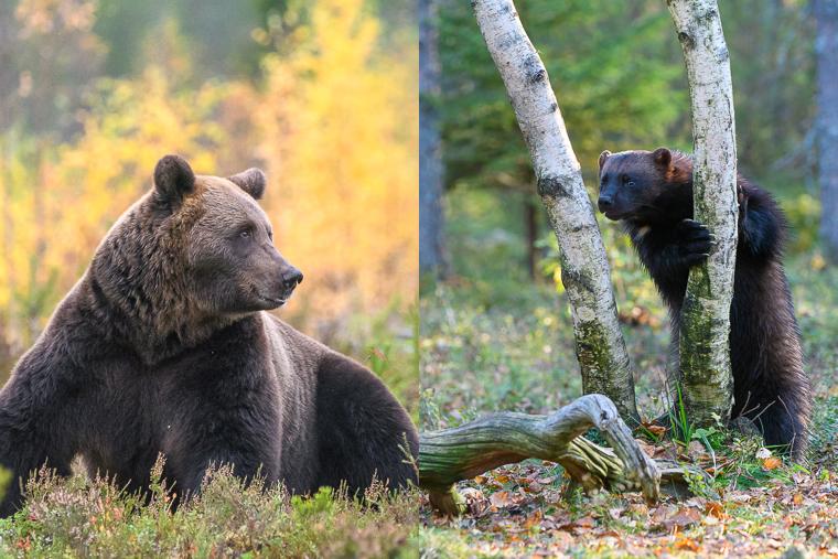 oso pardo hide os bru